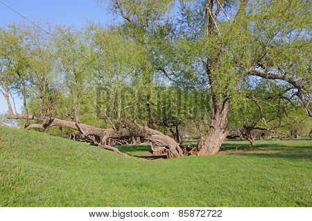 Unusual Old Trees
