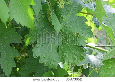 Sick Vine Leaf