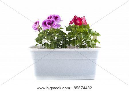 Pelargonium Of The Balcony Pots On A White Background.