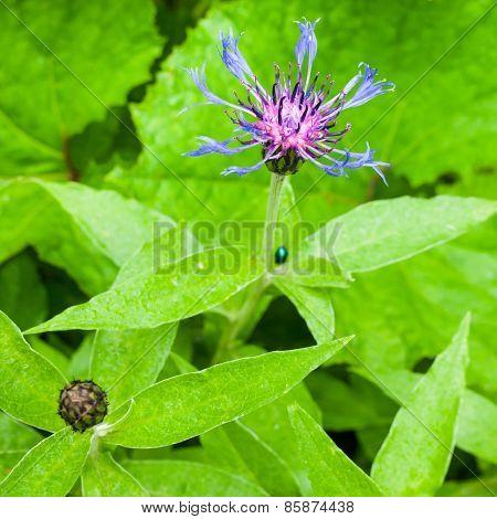 Montana Centaurea Cornflower