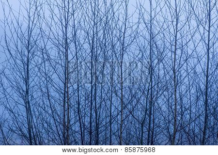 Birch trees branches
