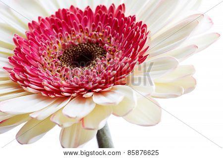 Beautiful White Gerber Flower