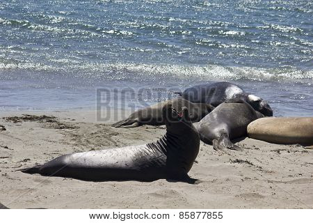 Sea Lion yawning on the beach