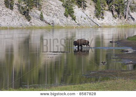 Bison Crossing River