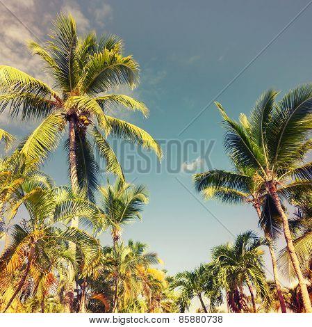 Coconut Palms Over Sky Background. Vintage Style