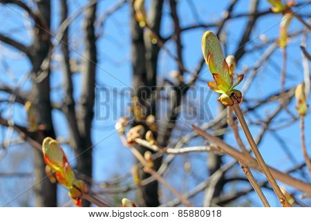 Twig With Spring Buds