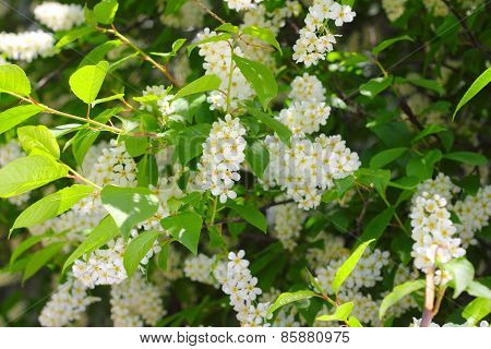 Blooming Bird Cherry Tree