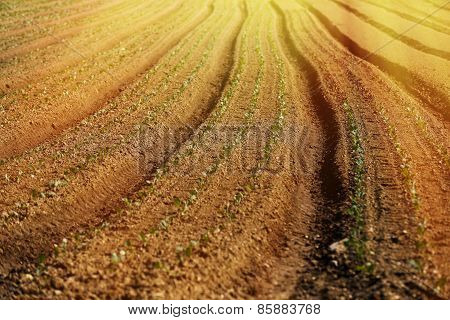 Cultivated Vegetable Field