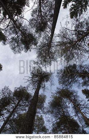 Pine Trees Reaching For The Sky
