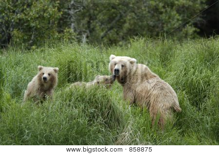 Brown bear sow and cubs standing on riverbank