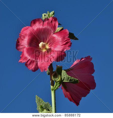 Pig Pink Hollyhock Flowers