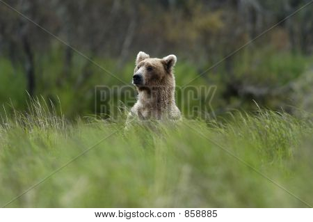 Brown bear standing above the grass