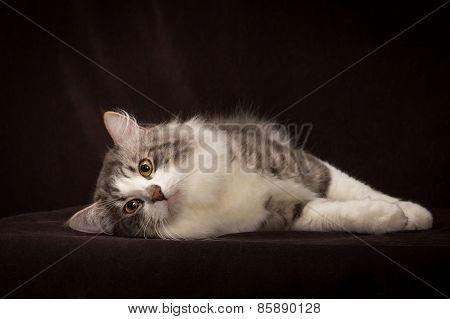purebred Siberian cat lying on dark brown background
