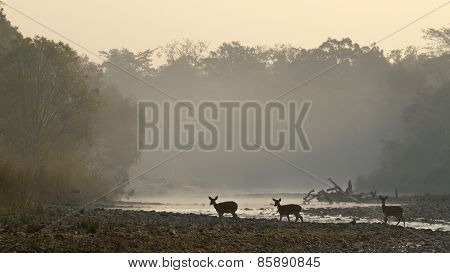 Spotted Deers group on twilight,  at Bardia national park, Nepal