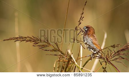 Scaly-breasted Munia Male Bird In Nepal