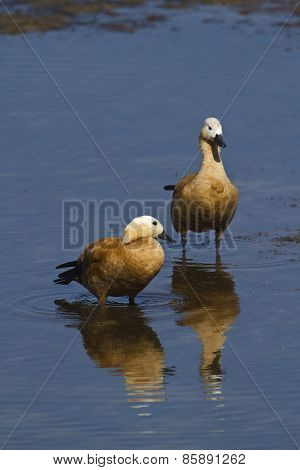 Couple of Ruddy Shelduck in the river, Bardia, Nepal