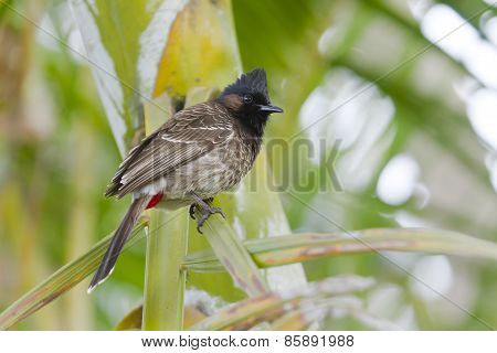 Red-vented Bulbul Bird In Bardia, Nepal