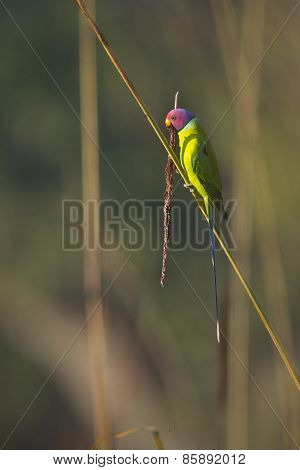 Plum-headed Parakeet Male In Nepal