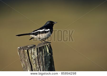 Oriental Magpie Robin Bird In Bardia, Nepal