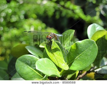 Yellow And Blue Dragonfly On Leaf