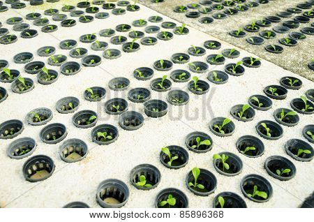 Row Of Young Green Cos Lettuce/ Butterhead - Hydroponics Vegetable Farm