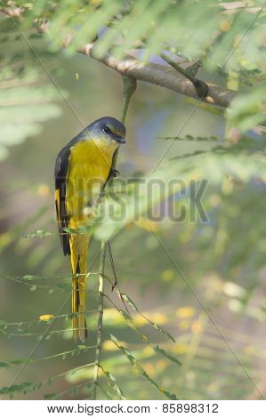 Long-tailed Minivet perched on a branch, in bardia,  Nepal