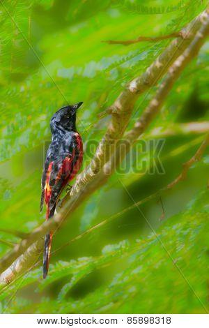Long-tailed Minivet.bird In Bardia, Nepal