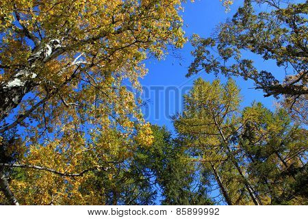 Autumn. Gold birch and larch tops against blue sky