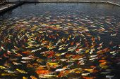 foto of fish pond  - beautiful koi fish swimming in the pond Colorful Koi - JPG