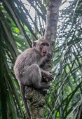pic of macaque  - Long-tailed Macaque climbing a tree Monkey Forest Ubud Bali