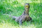 stock photo of komodo dragon  - Adult Komodo dragon standing in the grass Rinca Indonesia  - JPG