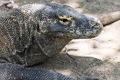 image of komodo dragon  - Adult Komodo dragon close up Rinca Indonesia - JPG