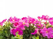 foto of petunia  - Close up pink petunia flower isolated on white background - JPG