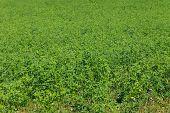 stock photo of alfalfa  - Close up photo of large alfalfa field - JPG
