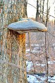 picture of coexist  - Tinder fungus on the trunk of a tree
