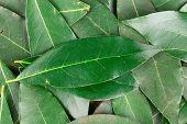 stock photo of bay leaf  - Background of bay leaves - JPG