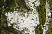 stock photo of birching  - photo of some birch bark on an old birch tree - JPG
