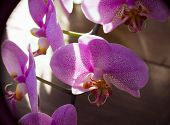 stock photo of orquidea  - Very rare purple orchid in sunlights - JPG