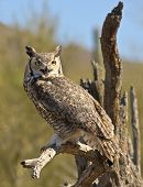 pic of facial piercings  - A Great Horned Owl Bubo virginianus Perched on an Old Snag - JPG