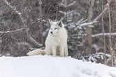 image of arctic fox  - An Arctic Fox in a winter scene - JPG