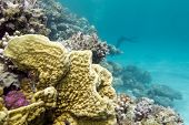 image of fire coral  - colorful coral reef at the bottom of tropical sea with great soft coral on a background of blue water underwater - JPG