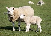 picture of spring lambs  - Spring lamb and mother in a field near Holmfirth West Yorkshire - JPG