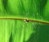 image of orbs  - Giant wood spider  - JPG