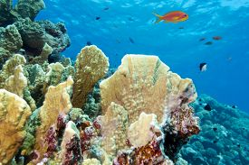 foto of fire coral  - coral reef with fire coral at the bottom of tropical sea on blue water background  - JPG