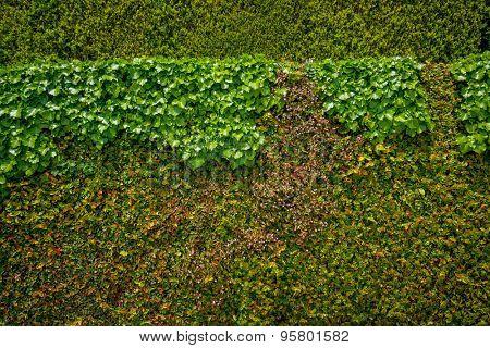 Wall of fresh green leaves
