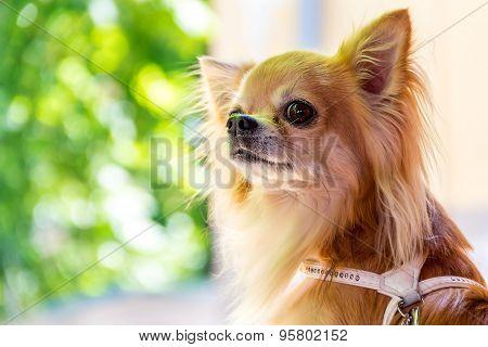 One Little Cute Chihuahua