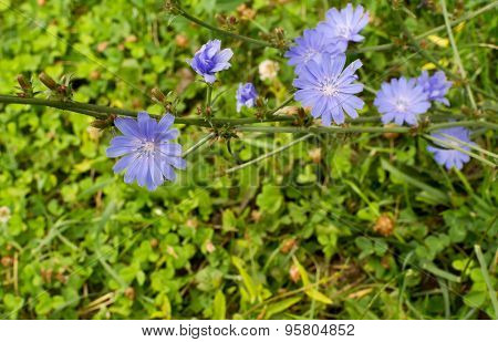 Bunch Of Wild Blue Chicory Flowers