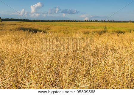 Landscape Of Rape Field At Summer Sunset