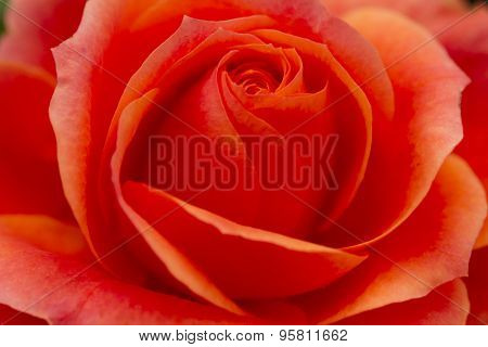 Single Red Rose Close Up Macro Photography