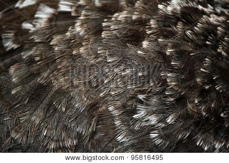 Darwin's rhea (Rhea pennata), also known as the lesser rhea. Plumage texture. Wildlife animal.